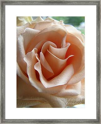 Framed Print featuring the photograph Blushing Rose by Margie Amberge