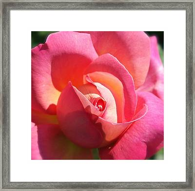 Blushing Rose Framed Print by Michele Myers