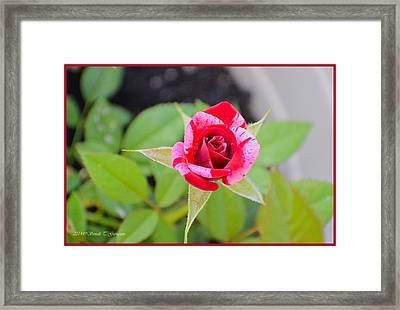 Blushing Rose Framed Print by Sonali Gangane