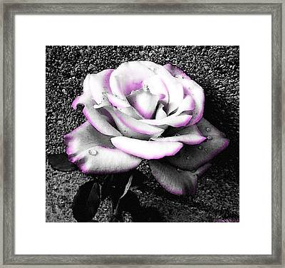 Framed Print featuring the photograph Blushing White Rose by Shawna Rowe
