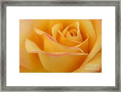Blushing Yellow Rose Framed Print