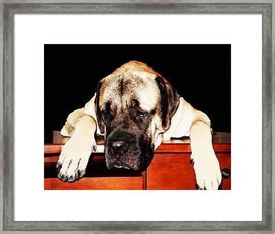 Mastiff Art By Sharon Cummings Framed Print by Sharon Cummings