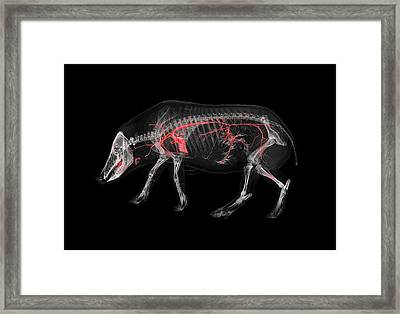 Boar Skeleton And Blood Vessels Framed Print by Anders Persson, Cmiv