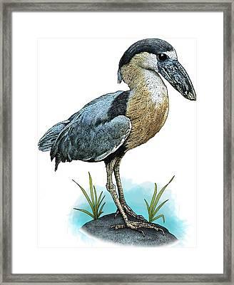 Boat Billed Heron Framed Print by Roger Hall