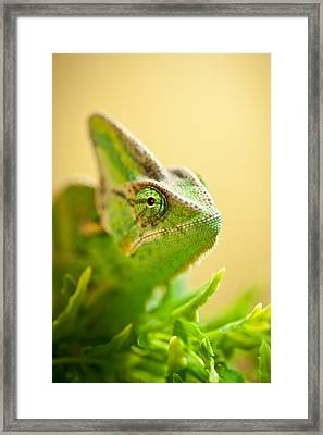 Bob The Chameleon  Framed Print by Samuel Whitton