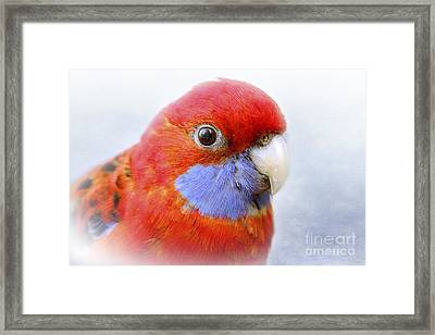 Bobby The Crimson Rosella Framed Print by Terri Waters