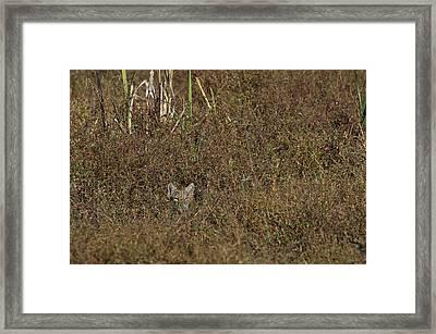 Bobcat - 5677 Framed Print