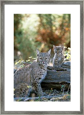 Bobcat Adult And Young Lynx Rufus Framed Print by Art Wolfe