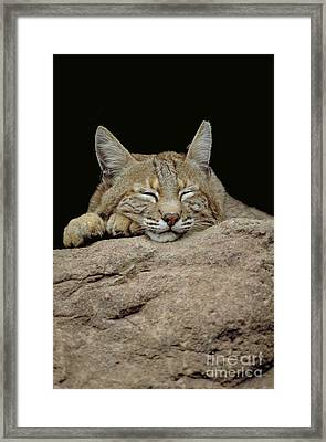 Bobcat, Arizona Framed Print