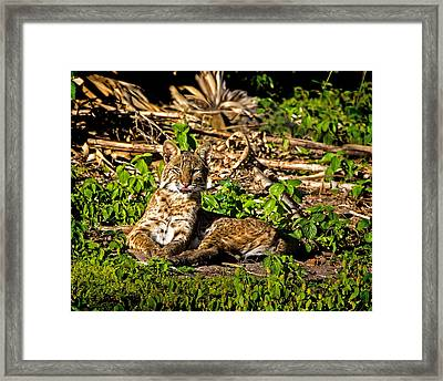 Bobcat At Sunset Framed Print