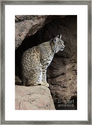Bobcat Framed Print by Bob Christopher