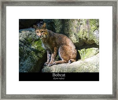 Bobcat Framed Print by Chris Flees