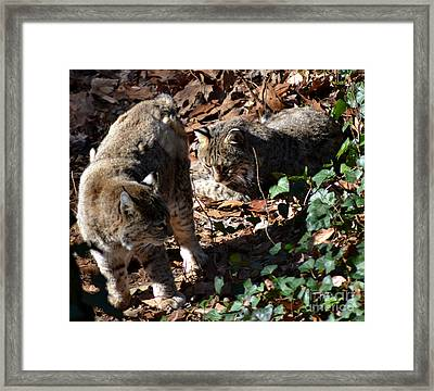 Bobcat Couple Framed Print