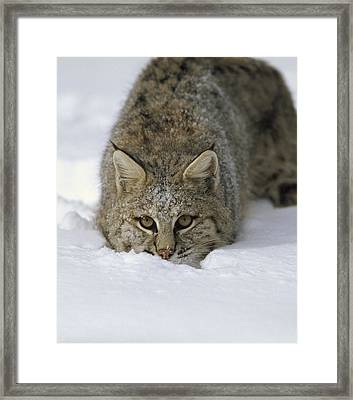 Bobcat Crouching In Snow Colorado Framed Print