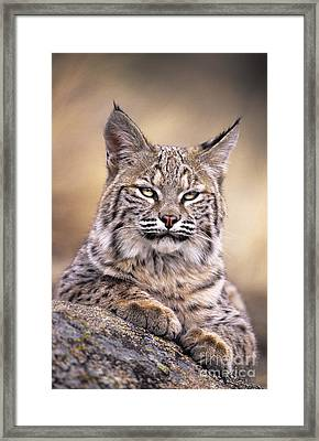 Bobcat Cub Portrait Montana Wildlife Framed Print by Dave Welling
