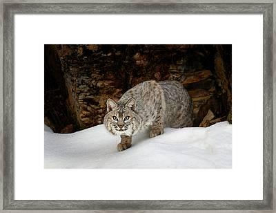 Bobcat In Snow (captive Framed Print