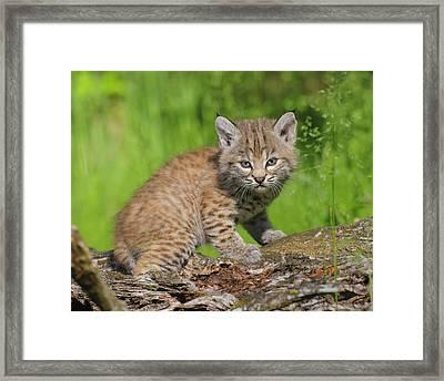 Bobcat Kitten  Felis Rufus  On Log Framed Print by Rebecca Grambo