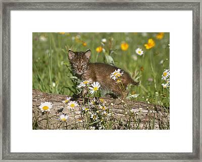 Bobcat Kitten In The Flowers Framed Print by Myrna Bradshaw