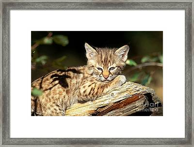 Bobcat Kitten Lynx Rufus Framed Print by Art Wolfe