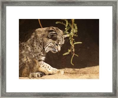 Bobcat Framed Print by James Peterson