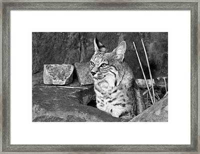 Bobcat Framed Print by Nikolyn McDonald