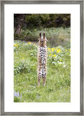 Bobcat On Hind Legs Framed Print