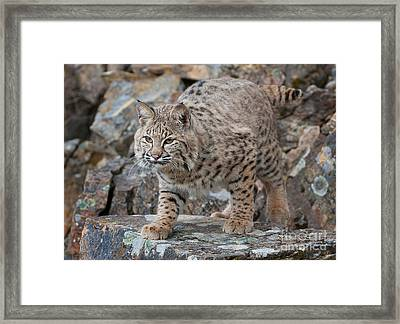Bobcat On Rock Framed Print by Jerry Fornarotto