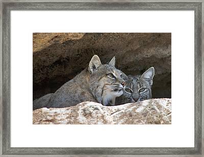 Bobcat Pair Framed Print by Paul Riedinger