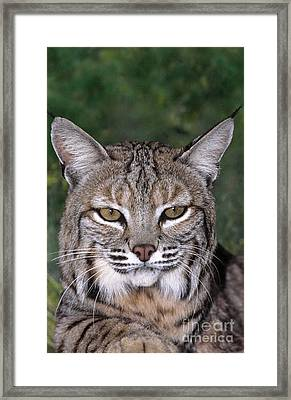 Bobcat Portrait Wildlife Rescue Framed Print by Dave Welling
