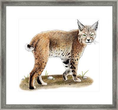 Bobcat Framed Print by Roger Hall