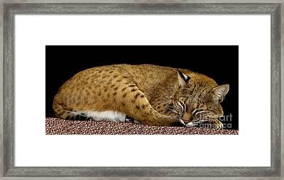 Bobcat Framed Print by Rose Santuci-Sofranko