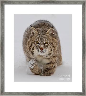 Bobcat Running Forward Framed Print by Jerry Fornarotto