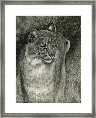 Bobcat Emerging Framed Print by Sandra LaFaut