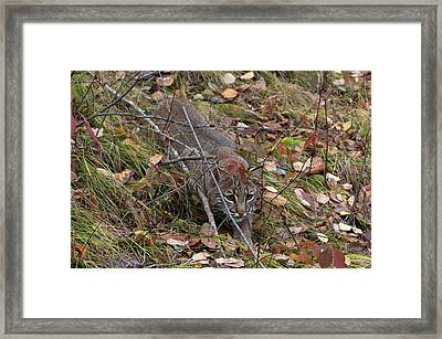 Bobcat Stalking Framed Print