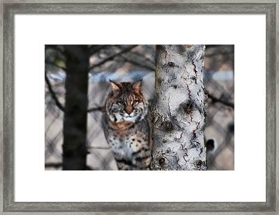 Bobcat Framed Print by StudioBoldt   Photography