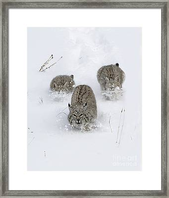 Bobcat Trio Framed Print