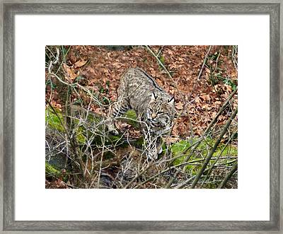 Framed Print featuring the photograph Bobcat by William Tanneberger