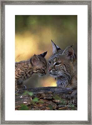 Bobcat With Kitten Framed Print by Art Wolfe