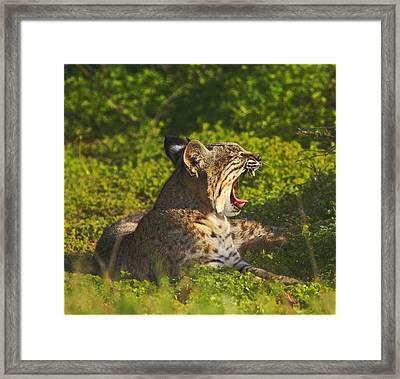 Bobcat Yawn Framed Print