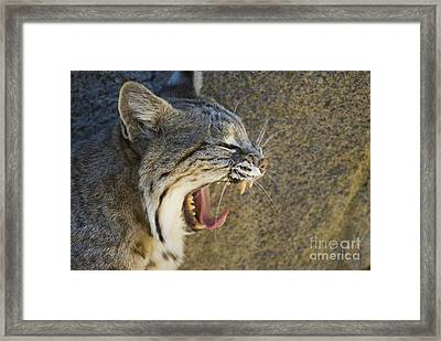 Bobcat Yawning Framed Print by William H. Mullins