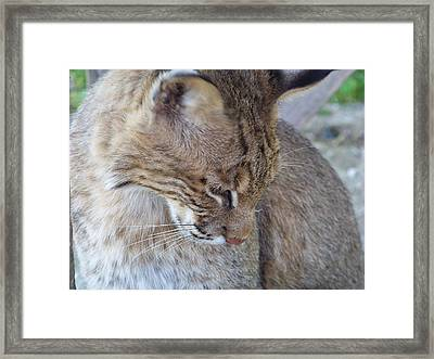 Bobcat2 Framed Print by Jennifer  King