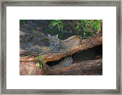 Bobcats At Rest Framed Print