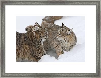 Bobcats Framed Print