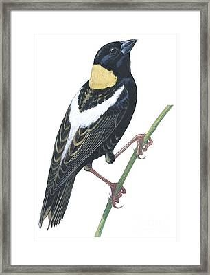 Bobolink Framed Print by Anonymous