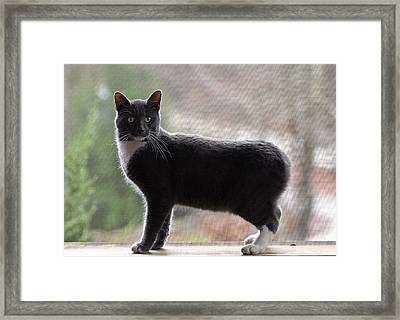 Bobtail Cat Framed Print by Susan Leggett