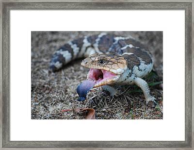 Bobtail Lizard Framed Print