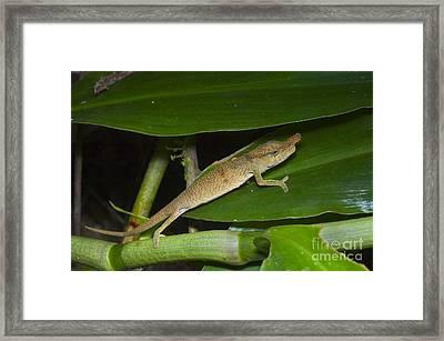 Boettgers Chameleon Framed Print