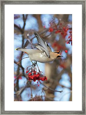 Bohemian Waxwing About To Catch Framed Print
