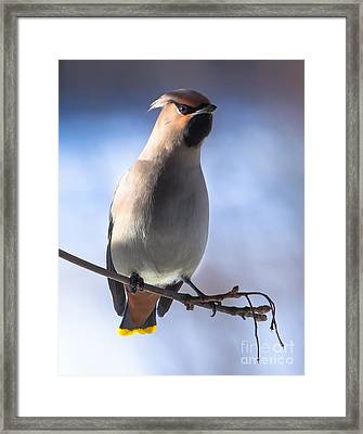 Framed Print featuring the photograph Bohemian Waxwing Blue by Rose-Maries Pictures