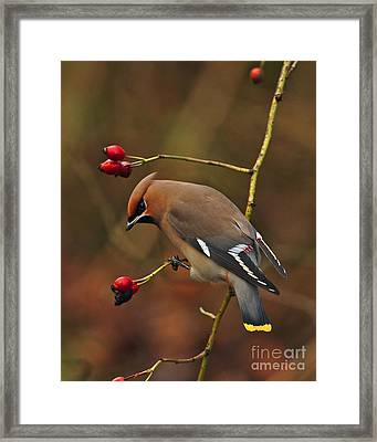 Bohemian Waxwing Framed Print by Paul Scoullar